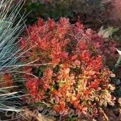 miniaturowy berberys czerwony