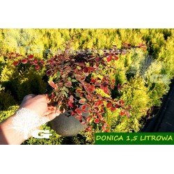 berberys coronita