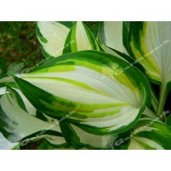 "Funkia - Hosta ""Enterprise"""