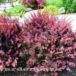 berberys rose glow sadzonka
