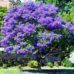Paulownia - Cesarskie drzewko szczęścia