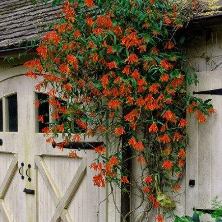 Wiciokrzew Scarlet