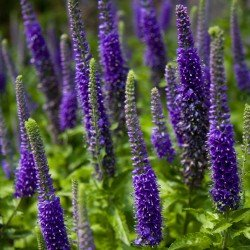 Przetacznik niebiesko-fioletowy (Veronica porphyriana)