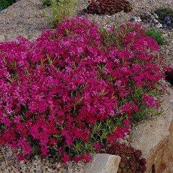 "Goździk kartuzek ""RUPERT""S PINK"" (łac. Dianthus carthusianorum)"