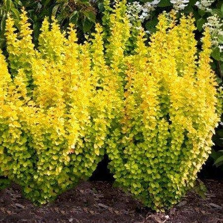 żółty berberys maria